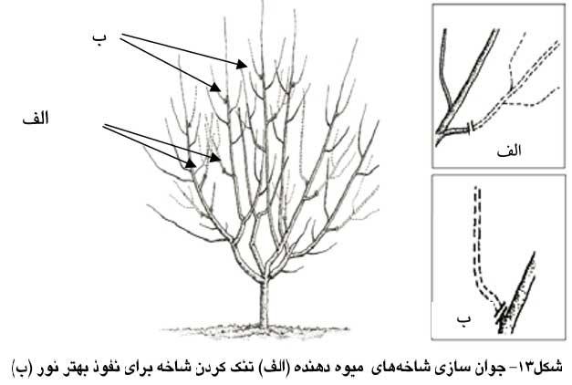 جوان سازي شاخه هاي میوه دهنده (الف) تنک کردن شاخه براي نفوذ بهتر نور (ب)