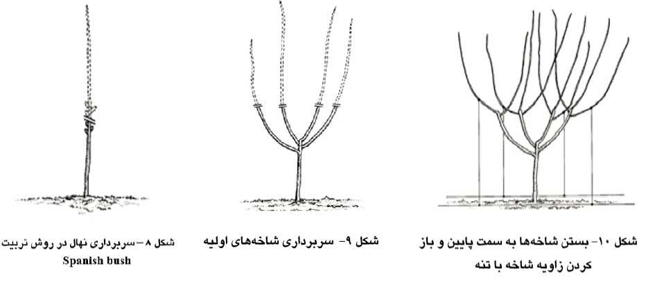 سربرداري نهال در روش تربیت Spanish bush – سربرداري شاخههاي اولیه - بستن شاخهها به سمت پایین و باز کردن زاویه شاخه با تنه