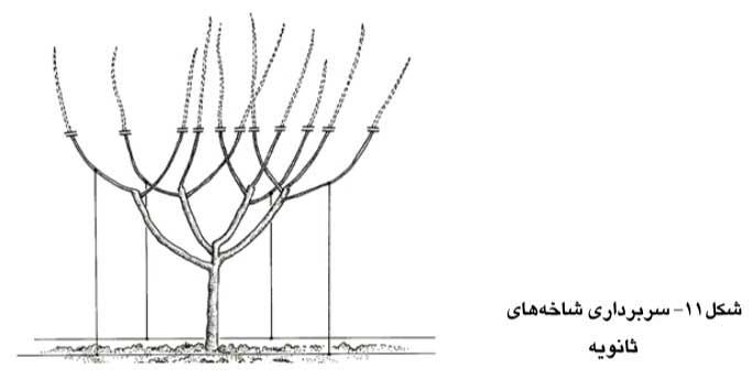 سربرداری شاخه های ثانویه