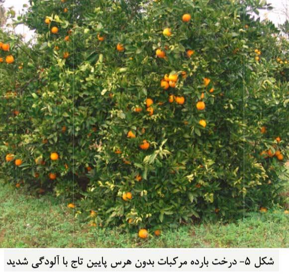 درخت مرکبات بارده بدون هرس با درصد آلودگی به بیماری پوسیدگی قهوه ای میوه بالا
