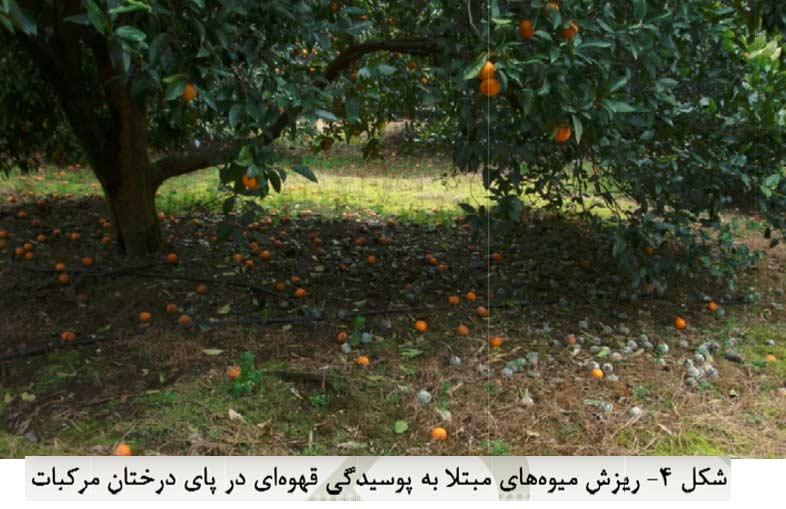 ریزش میوه های مبتلا به پوسیدگی قهوه ای در پای درختان مرکبات