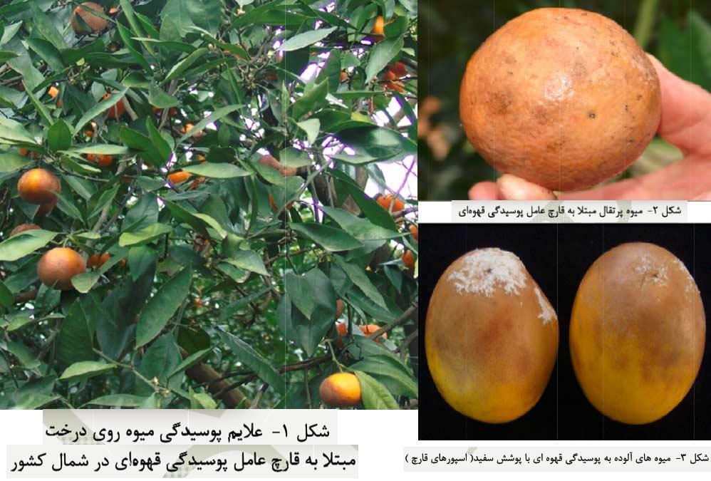 علایم آلودگی میوه به قارچ عامل بیماری پوسیدگی قهوه ای میوه مرکبات