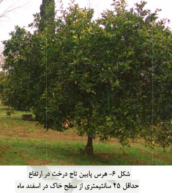هرس پایین تنه درخت مرکباتاز ارتفاع حداقل 45 سانتی