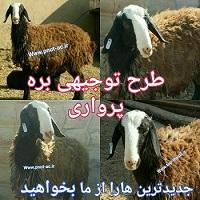 دانلود طرح توجیهی گوسفند اصلاح نژاد
