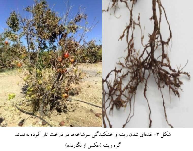 غده ای شدن ذیشه و خشکیدگی سرشاخه های انار در اثر ابتلا به نماتد مولد گره ریشه انار
