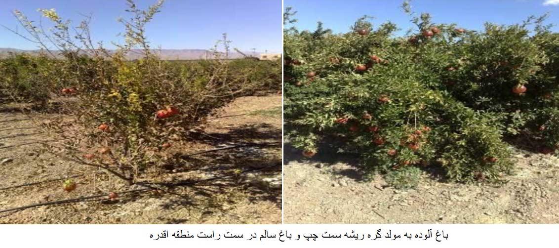 مقایسه باغ سالم و باغ آلوده به نماتد مولد گره ریشه انار
