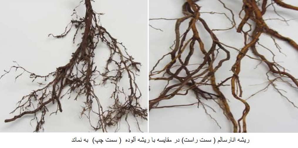 مقایسه ریشه سالم و ریشه آلوده به نماتد