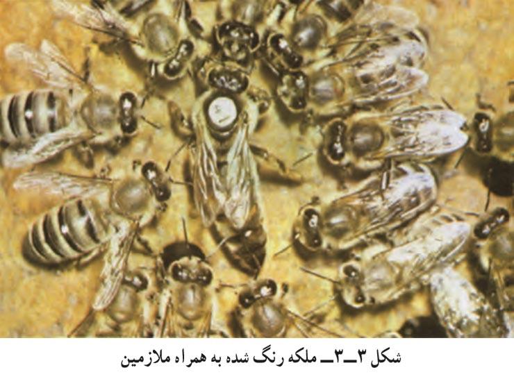 ملکه زنبور عسل رنگ شده به همراه ملازمین