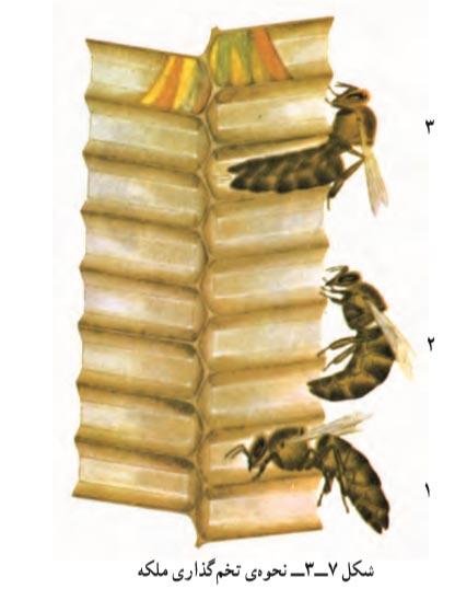 نحوه تخم گذاری زنبور ملکه