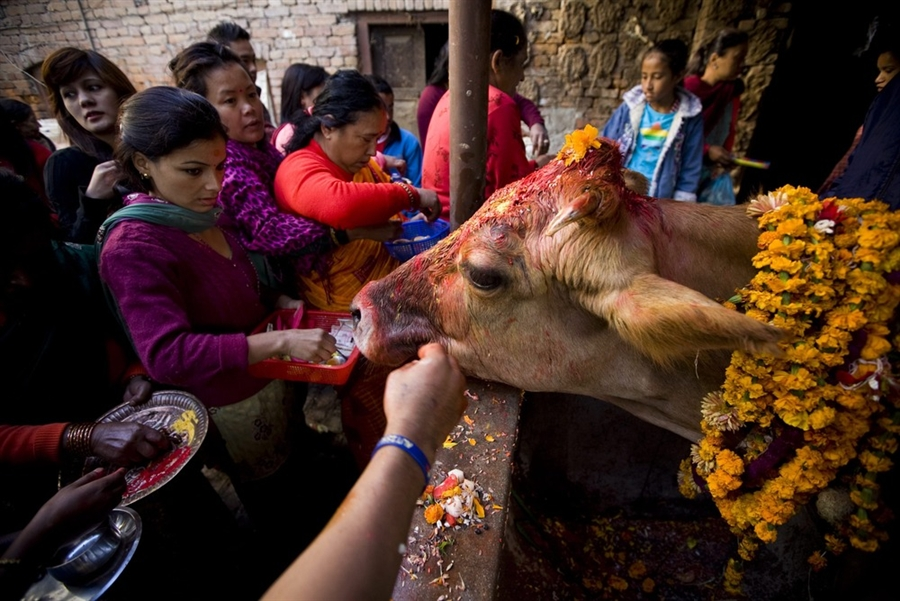 احترام به گاو ها در هند