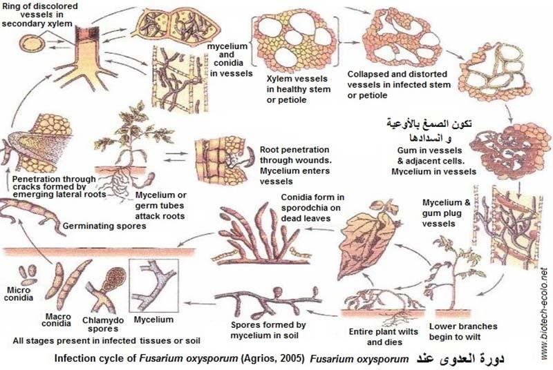 چرخه زیستی بیماری پژمردگی فوزاریومی خرما