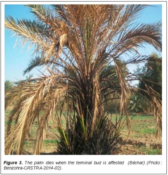 Fusarium wilt of date palm