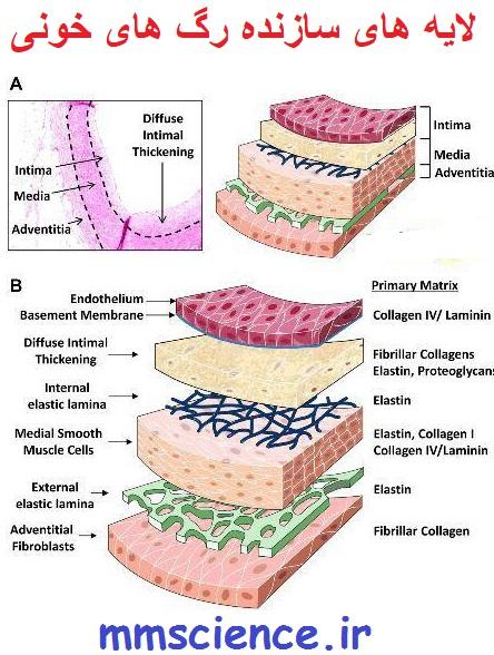 ساختار رگ های خونی