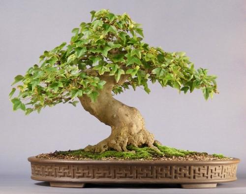[عکس: klon_burgera_bonsai.jpg]