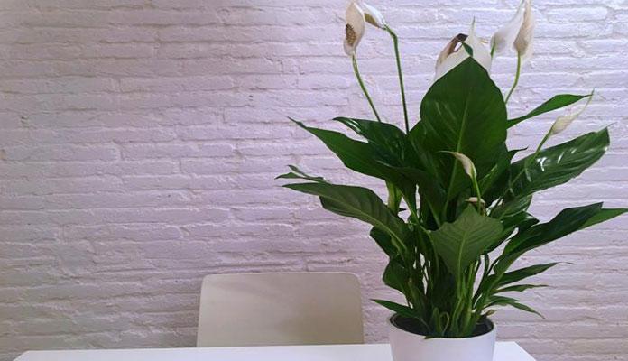نکات نگهداری صحیح از گل صلح (اسپاتیفیلوم)