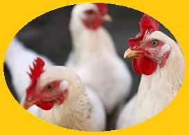 فروش مرغداری گوشتی