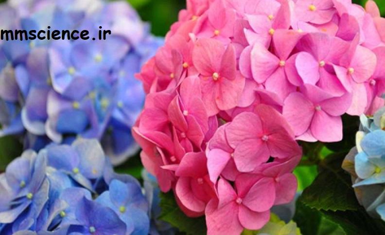 گل ادریسی خاک اسیدی و خنثی