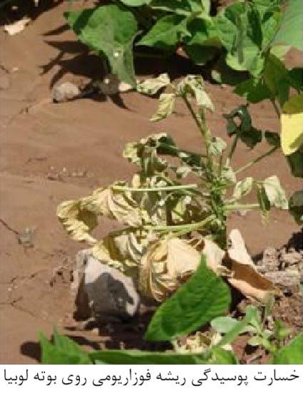 علایم خسارت پوسیدگی ریشه فوزاریومی روی بوته لوبیا