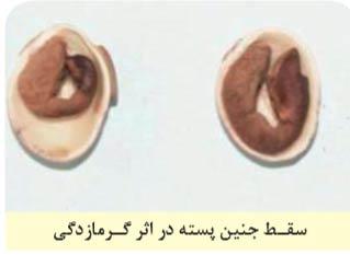 سقط جنین پسته در اثر گرمازدگی