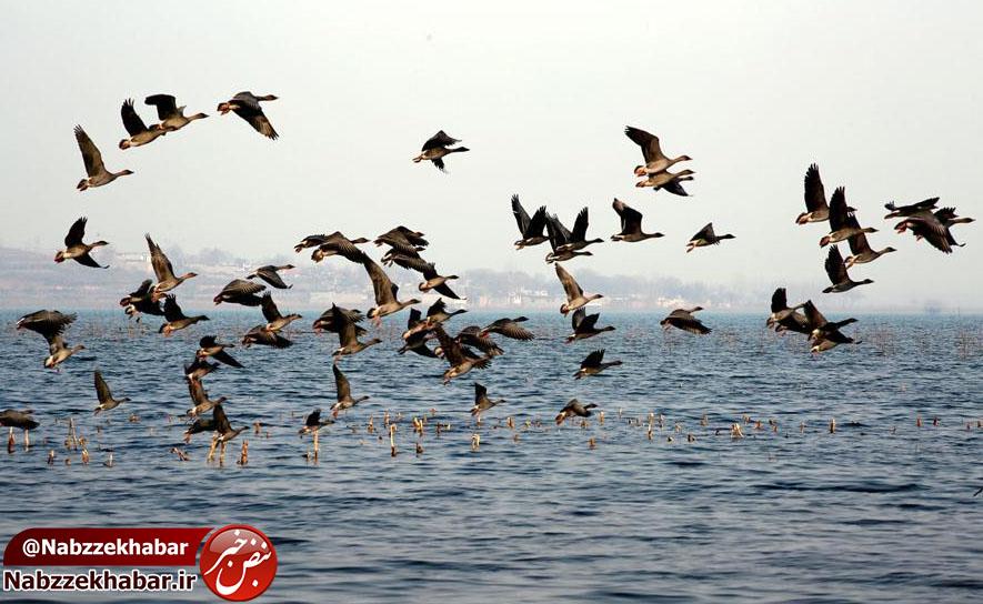پس از دو سال ممنوعیت ؛ صدور مجوز شکار پرندگان در گیلان/ پروانه شکار پرندگان در گیلان از نیمه آبان صادر خواهد شد.