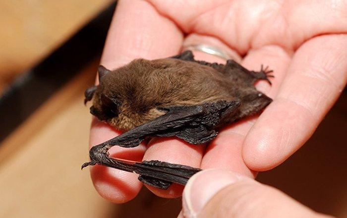 خفاش خفاش کوچک بچه خفاش تولید مثل خفاش جفت گیری خفاش