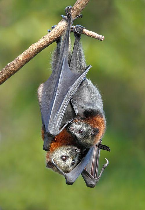 خفاش میوه خوار به همراه مادرش بچه خفاش خفاش مادر تولید مثل خفاش