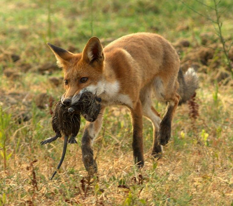 غذای روباه شکار روباه روباه چه می خورد غذای روباه چیست