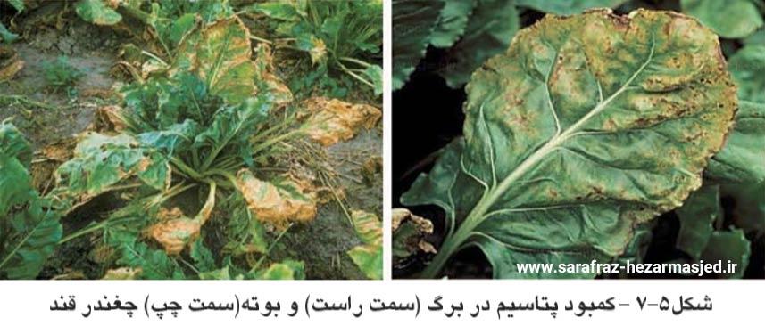 علایم کمبود پتاسیم در گیاه چغندرقند