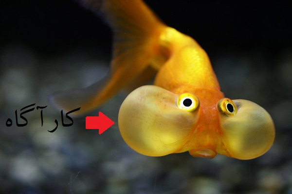 [تصویر:  Bubble_Eye_Goldfish_JamNews_7.jpg]