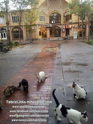 گربه های تبریز