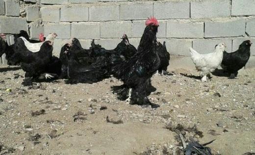 نژاد خروس سیاه