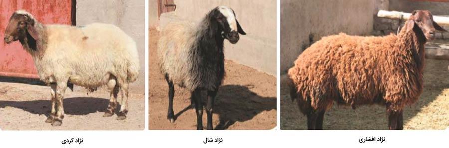 بهترین نژادهای گوسفند پرواری