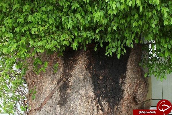 درخت مراغه