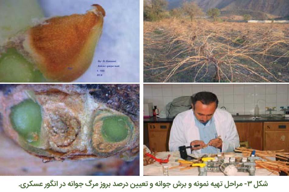 مراحل تهیه نمونه و برش جوانه و تعیین درصد بروز مرگ جوانه در انگور عسگری