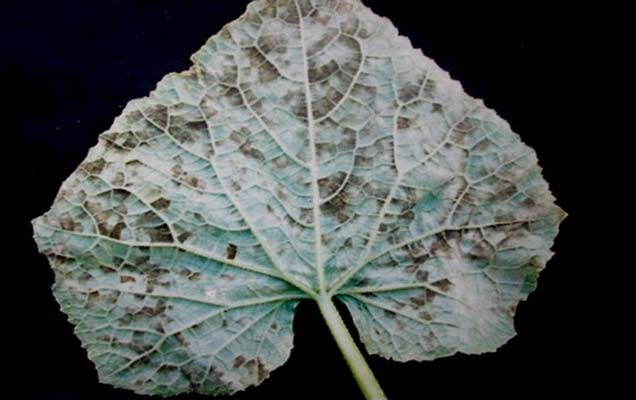 Pseudoperonospora cubensis