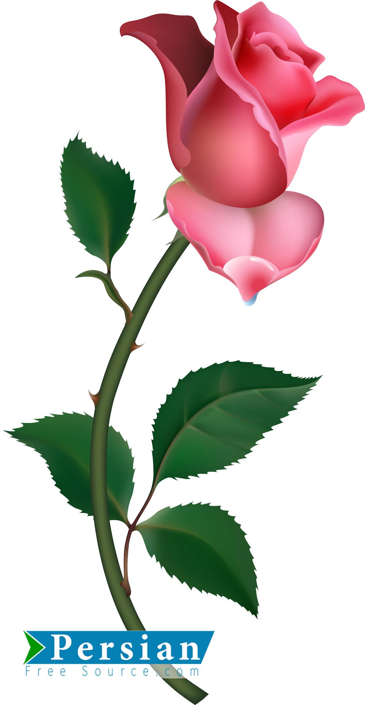 دانلود فایل لایه باز و وکتور گل سرخ Rose