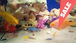 African cichlids | blood parrot fish for sale
