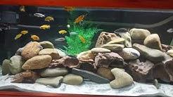 New mbuna African Cichlid aquarium