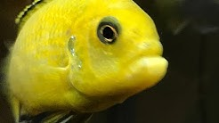 Special Guest Bubba !!! Mbuna Yellow Lab Cichlid From Forrest Gump