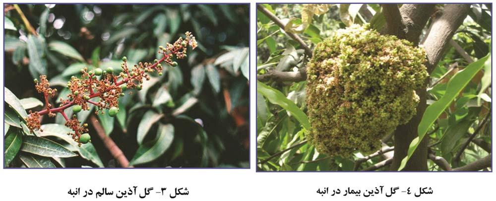 مقایسه گل آذین آلوده و سالم به بیماری بدشکلی گل آذین انبه