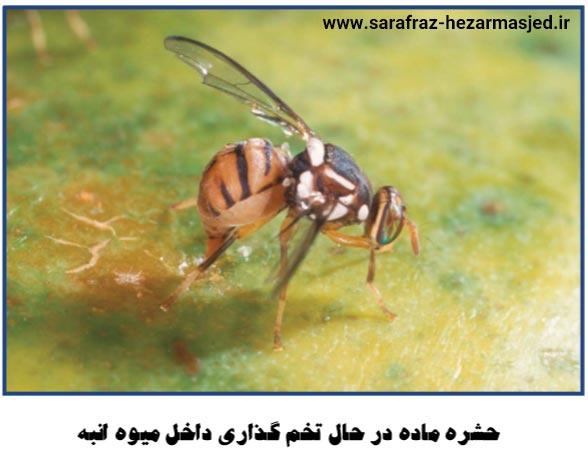 حشره ماده مگس میوه انبه در حال تخم گذاری
