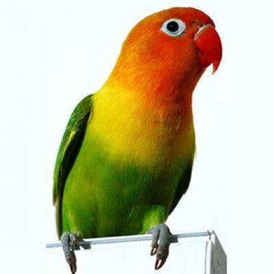 تشخیص جنسیت طوطی برزیلی