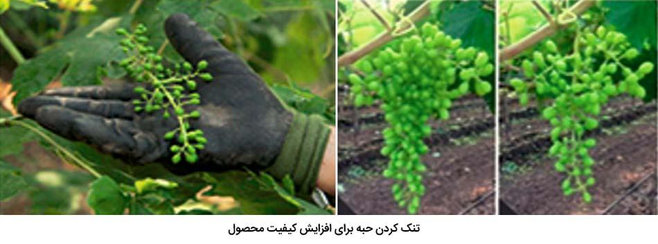تنک کردن حبه انگور برای افزایش کیفیت محصول