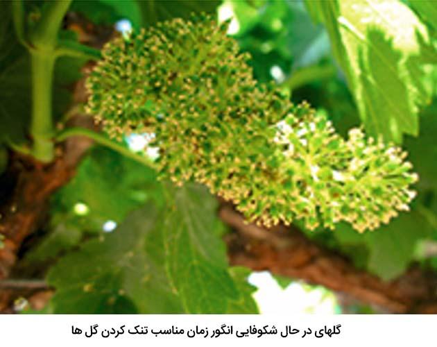 گلهای در حال شکوفایی انگور ( زمان مناسب تنک کردن گل ها در انگور)