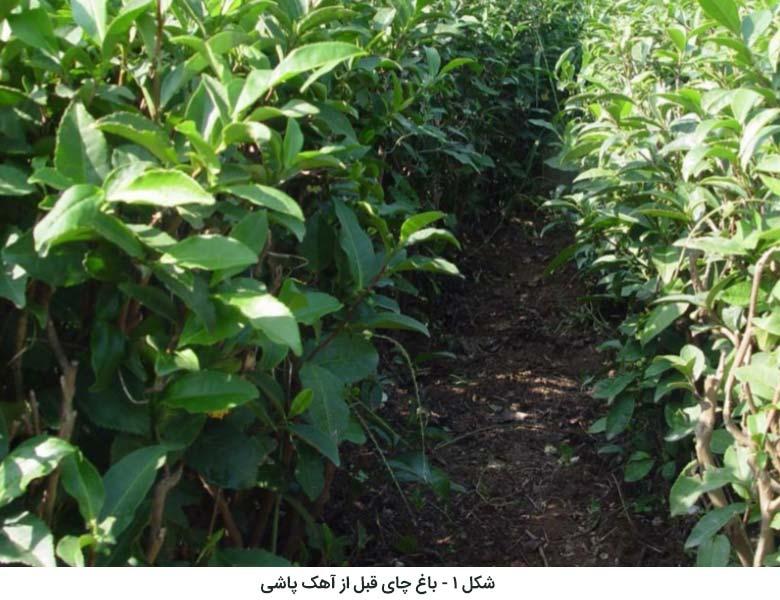 باغ چای قبل از آهک پاشی و اصلاح PH